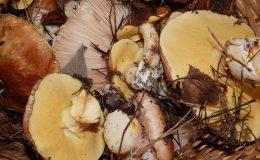 marynowanie grzybow